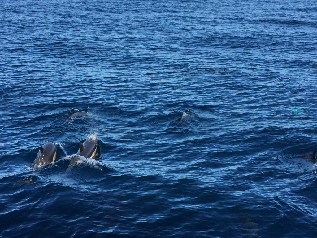 Dolphins swimming ahead of our boat.